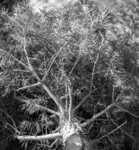 lower trunk of christmas tree
